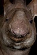 Deu, Deutschland: Flachlandtapir (Tapirus terrestris), Portraet, close-up, Zoo Krefeld, Nordrhein-Westfalen | DEU, Germany: Lowland Tapir (Tapirus terrestris), portrait, close-up, Zoo Krefeld, North Rhine-Westphalia