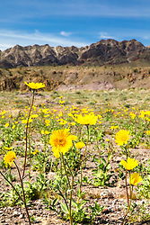 """""""Death Valley Wildflowers 2"""" - Photograph of yellow wildflowers in Death Valley, near the Ibex Dunes area."""