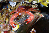 A tiny squat lobster, Galathea strigosa, climbing on top of a mussel..Atlantic marine life, Saltstraumen, Bodö, Norway