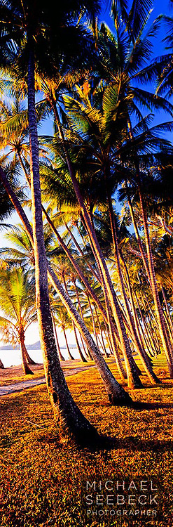 A vertical panoramic photograph of the coconut palms at Palm Cove, Cairns, taken in early morning sunlight.<br /> <br /> Code: VAQT0003<br /> <br /> Limited Edition Print