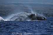 humpback whale, Megaptera novaeangliae, breaching, Puako, Hawaii Island, #5 in sequence of 6; caption must include notice that photo was taken under NMFS research permit #587