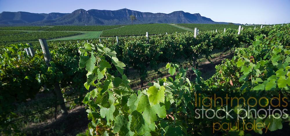 Vines ready for picking, Hunter Valley Vineyard, NSW, Australia