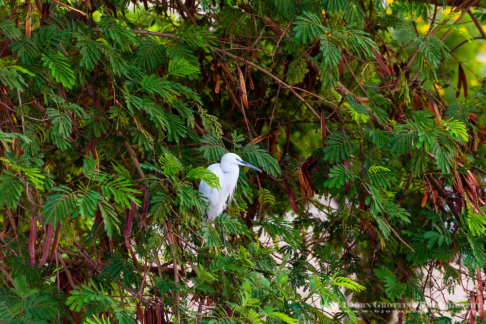 Egypt. A white Egret at the Temple of Kom Ombo.