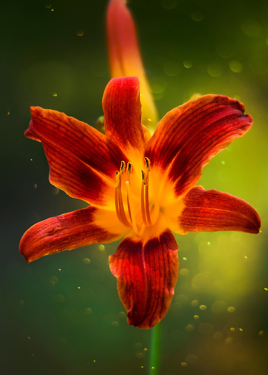 A Red Daylily backed by garden green a morning bokeh