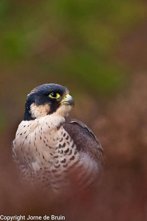 A Peregrine Falcon is sitting in the heather in the Scottish Highlands in the Cairngorms National Park