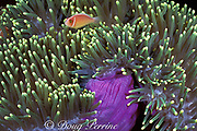 white-maned or pink anemonefish, <br /> Amphiprion perideraion, in <br /> magnificent sea anemone, <br /> Heteractis magnifica, Sipadan, <br /> Borneo, Malaysia ( Celebes Sea )