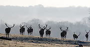 © Licensed to London News Pictures. 20/01/2016. Richmond, UK Deer in the freezing frost at Richmond Park today 20th January 2016. Temperatures dropped to -4 celsius overnight. Photo credit : Stephen Simpson/LNP