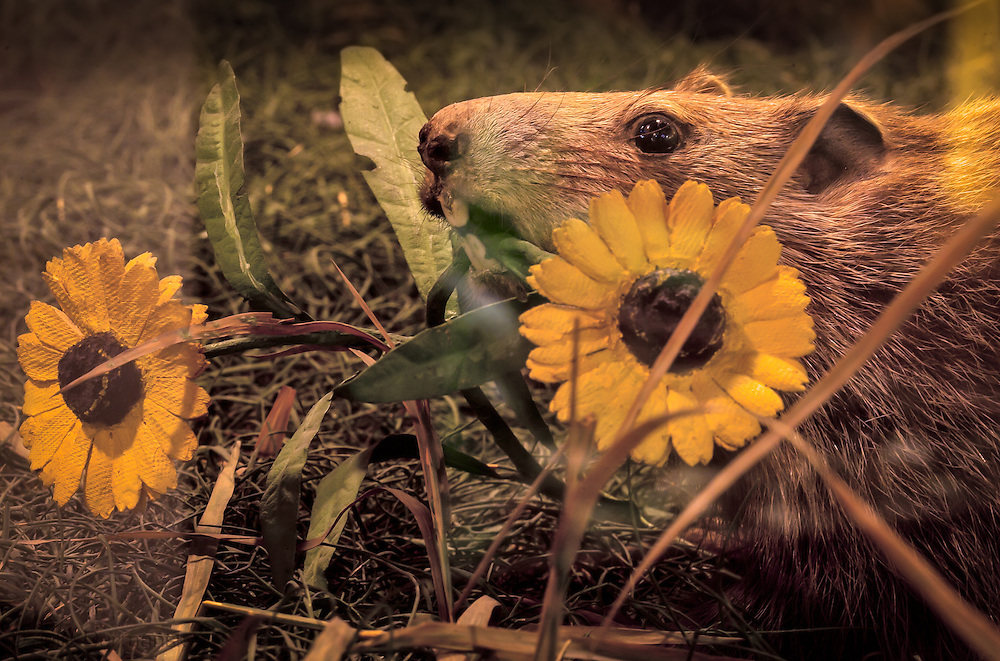 Woodchuck eating flowers on  display at the Fairbanks Museum & Planetarium in St. Johnsbury, Vermont.