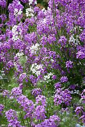 Hesperis matronalis Mauve and White. Sweet rocket, Dame's rocket, Damask violet, Dame's-violet
