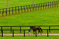 Thoroughbred stallions, Winstar Farm (thoroughbred horse farm), Versailles (near Lexington), Kentucky USA