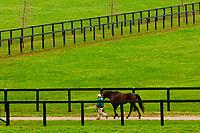 Thoroughbred stallions, Winstar Farm (thoroughbred horse farm), Versailles (near Lexington), Kentucky USA