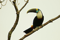 White-throated Toucan (Ramphastos tucanus) above Anangu creek, Yasuni National Park, Orellana Province, Ecuador