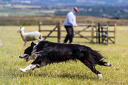 © Licensed to London News Pictures. 23/06/2018. Holmfirth UK. More than 100 of the country's best trained dog's are competing with their handlers today at the 107th Harden Moss sheepdog trials in Holmfirth, Yorkshire. The historic event has only ever missed two years since it started due to the world wars  & see's competitors in the trials range in age from five years old to handlers who have been trialling for decades. Photo credit: Andrew McCaren/LNP