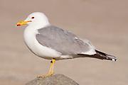 California Gull (Larus californicus), Alberta, Canada