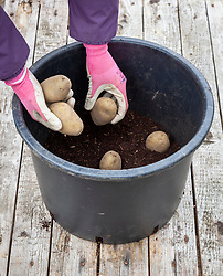 Planting early potato tubers in a large plastic pot in the greenhouse