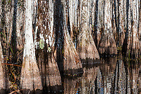 US, Florida, Everglades. Cypress swamp.