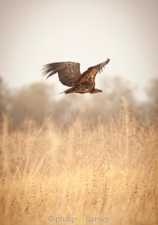 A vulture in Waza National Park, in the north of Cameroon