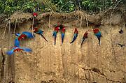 Red-and-Green Macaws on Lick<br />Ara Chloroptera<br />Heath River Clay Lick, PERU   South America<br />Range; Panama to Paraguay