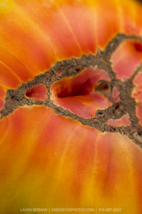 Closeup of a yellow and red Striped German heirloom tomato.