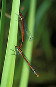Large Red Damselfly, Pyrrhosoma nymphula, UK, pair mating in tandem, resting on reed by pond