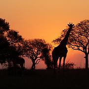 Southern giraffes in the setting sun. Mala Mala Game Reserve, South Africa.