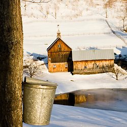 Sap buckets on maple trees on a farm in Pomfret, Vermont.