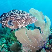 Black grouper (Mycteroperca bonaci) on coral reef in Jardines de la Reina, Gardens of the Queen National Park, Cuba.