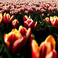 The Netherlands, Wieringerrandmeer, 27-04-2010.<br /> Tulip field.<br /> Photo : Klaas Jan van der Weij