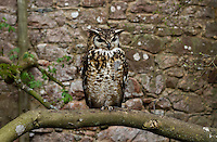 Perch, brown great horned owl