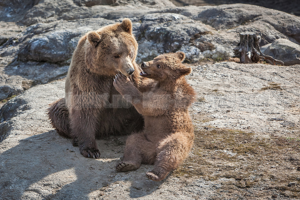 Bear mother and cod having a nice time. This picture is taken at bear park, Norway | Bjørnemor og barn har en fin kosestund. Bjørneparken Flå, Norge