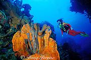 diver and orange elephant ear sponge, <br /> Agelas clathrodes, Hogsty Reef,<br /> Bahamas ( Western Atlantic Ocean )  MR 161