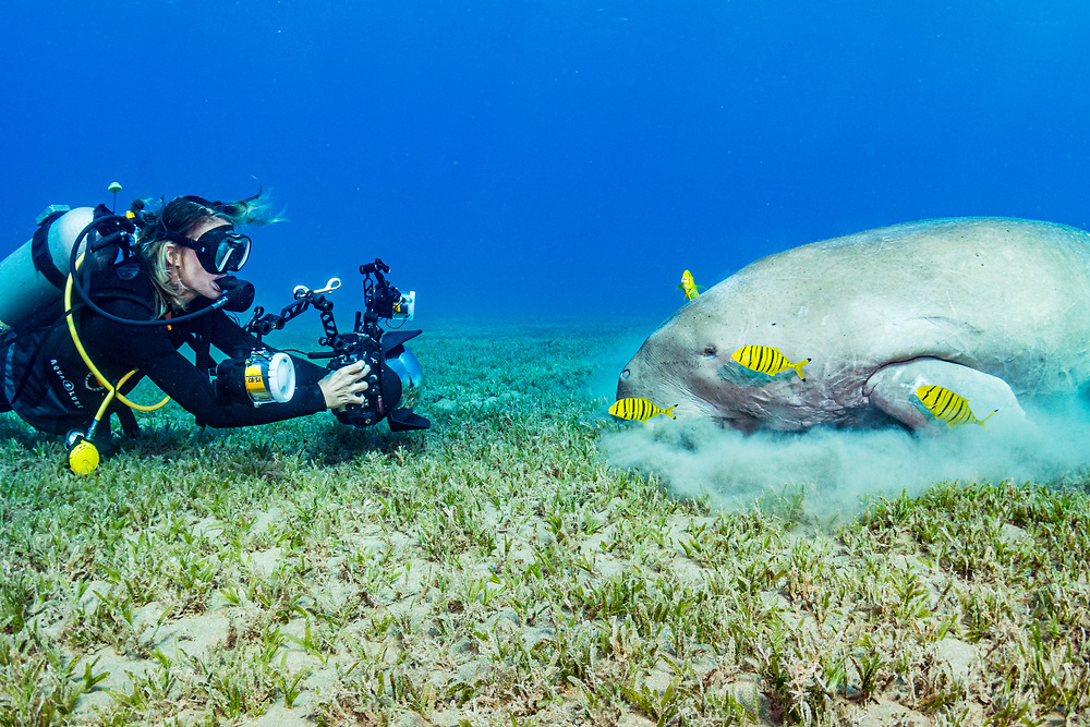 An underwater photoggrapher making images of a dugong (Dugong dugon) feeding on seagrass (Halophila stipulacea) with juvenile golden trevally (Gnathanodon speciosus). Image made in the Red Sea off Marsa Alam, Egypt