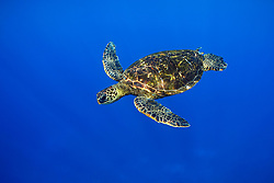 green sea turtle, Chelonia mydas, Kona, Big Island, Hawaii, Pacific Ocean