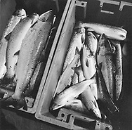 Scotland's last salmon netters: A box of newly-harvested wild Atlantic salmon taken from jumper nets staked out on the sands at Kinnaber, Angus on Scotland's east coast.<br /> Catching the Tide ref: 15/02/03 (11th April 2002)<br /> <br /> The once-thriving Scottish salmon netting industry fell into decline in the 1970s and 1980s when the numbers of fish caught reduced due to environmental and economic reasons. In 2016, a three-year ban was imposed by the Scottish Government on the advice of scientists to try to boost dwindling stocks which anglers and conservationists blamed on netsmen.
