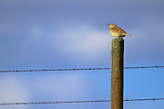 Meadow Lark on fence post, Montana.