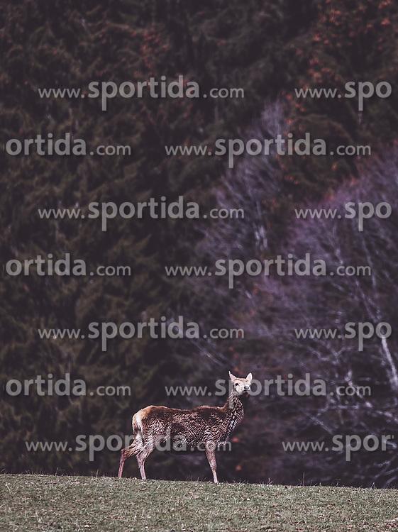 THEMENBILD - Rotwild auf einer Wiese in einem Wildtiergehege, aufgenommen am 07. März 2019 in Aurach, Oesterreich // Red deer in a meadow in a wild animal enclosure in Aurach, Austria on 2019/03/07. EXPA Pictures © 2019, PhotoCredit: EXPA/ JFK