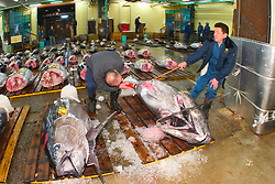 intermediate buyer, checking quality of raw bluefin tuna, Thunnus sp., getting set for auction, Tsukiji Fish Market or Tokyo Metropolitan Central Wholesale Market, the world's largest fish market, hadling over 2, 500 tons and over 400 different kind of fresh sea food per day, Tokyo, Japan