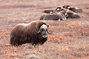 """Alaska; Muskox (Ovibos moschatus) bull on guard while the herd rests in the background on the autumn tundra of the Seward Peninsula, outside of Nome.  Muskox, called omingmak meaning """"the animal with skin lake a beard"""" by the local Inupiaq people."""