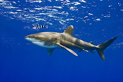 Oceanic Whitetip Shark, Carcharhinus longimanus, with Pilotfish, Naucrates ductor, off Kona, Big Island, Hawaii, Pacific Ocean.