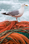 A seagull sits on the nets hitching a ride back to the harbour. Luke is a Folkestone based fisherman out trawling for a 12 hour night solo shift on a fishing trip in his boat Valentine FE20, Hythe Bay, the English Channel, United Kingdom.