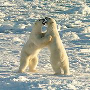 Polar Bear (Ursus maritimus) Two sub adult males play fighting. Churchill, Manitoba. Canada. Winter.