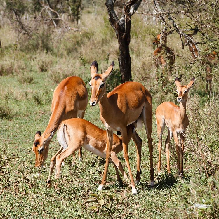 Young Impala feeding