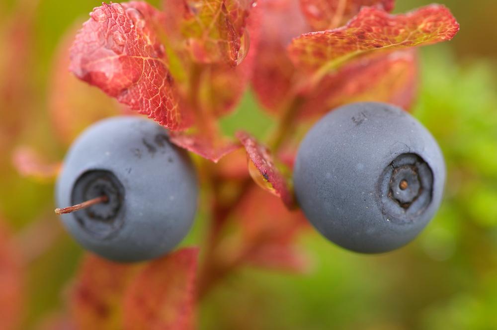 Blueberries, Vaccinium myrtilius, Laponia World Heritage Area, Lapland, Sweden.