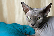 Sphynx cat also known as Canadian Hairless is a rare breed of cat known for its lack of a coat. Property Release available