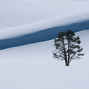 A lone pine tree stands among the frozen hills in Hayden Valley. Yellowstone National Park