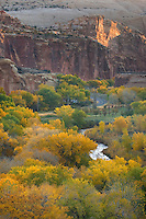Cottonwood trees in autumn foliage in the Fremont River Valley, Capitol Reef National Park Utah