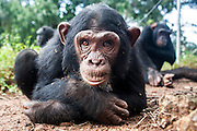 Female infant chimp, Sara, is photographed at Ngamba Island Chimpanzee Sanctuary in Lake Victoria, Uganda. Sara, who has been on Ngamba Island since 2012, is a little chimp with a clear face. She was confiscated from a trader in Southern Sudan. At the time of her arrival, she was in a bad condition. Her eyes were puffy due to dehydration and she had a big hard stomach with no hair on it.<br /> She pretty much wants to own everything, she screams until she is given what she wants including sticks and all other small enrichment materials. When she is scared, Sara runs to her surrogate mother, Connie. She likes riding on Connie's back. 03/15 Julia Cumes/IFAW