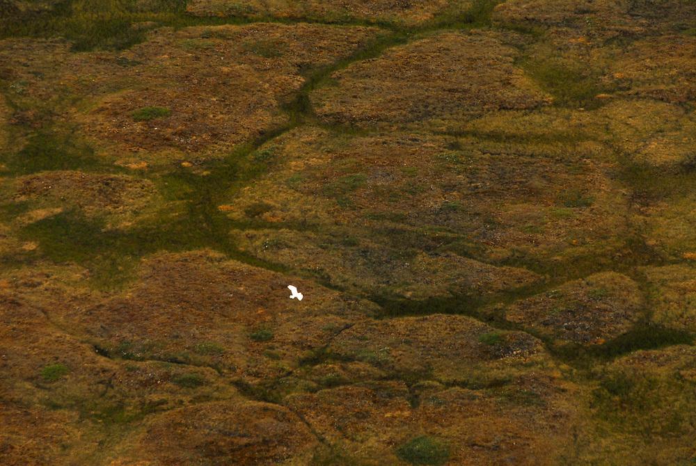 Alaska, Barrow. Bird on tundra. Aerial.