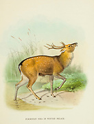 Formosan Sika Deer  (Cervus nippon taioanus), in Winter Pelage from the book ' The deer of all lands : a history of the family Cervidae, living and extinct ' by Richard Lydekker, Published in London by Ward 1898