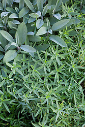 Artemisia dracunculus (French Tarragon) with Salvia apiana (white sage)